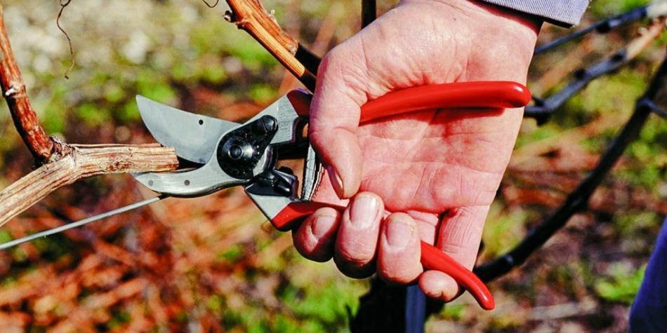 Hand prune cutting branch