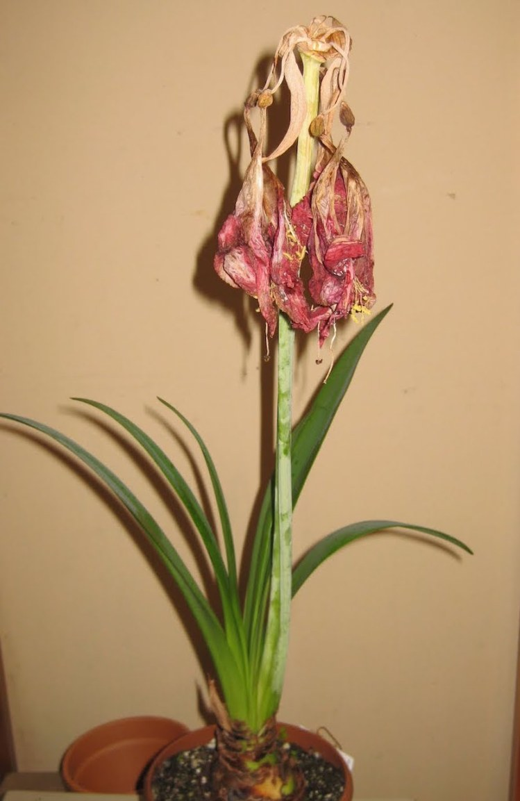 Amaryllis with faded flowers ready tout off.