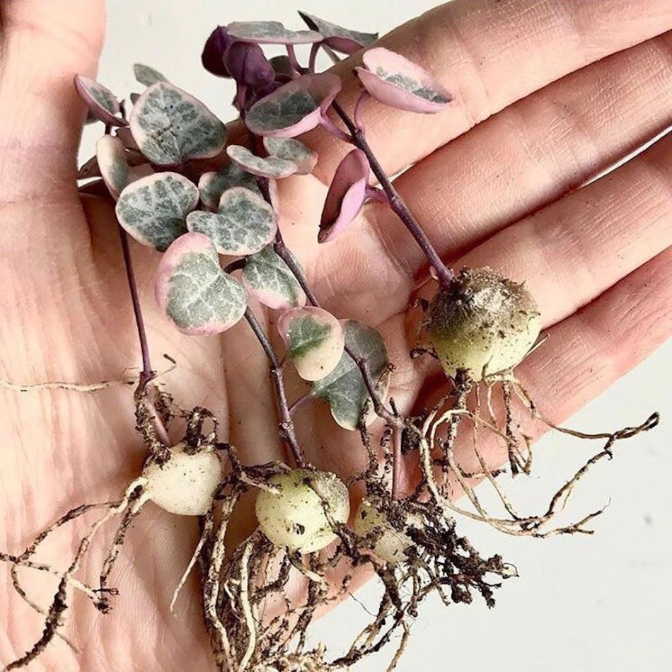 Tubers of Variegated Sweetheart Vine with stems and roots to be used as cuttings.