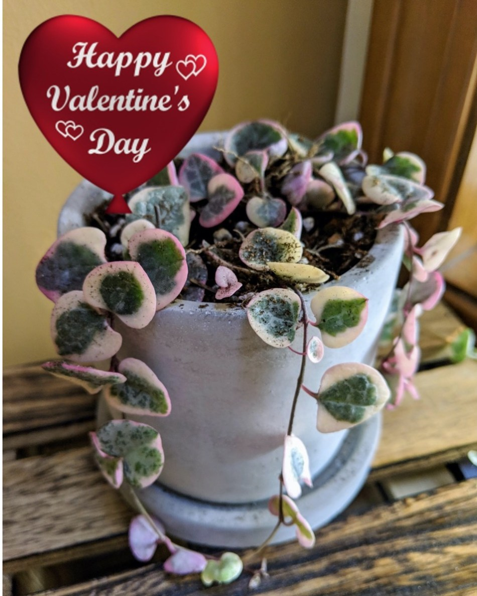 Variegated Sweetheart Vine with read Valentine's Day heart.