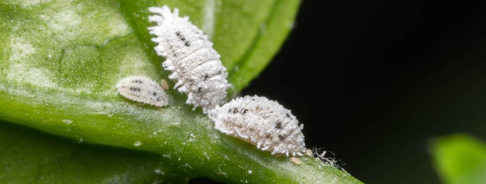 Three white mealybugs.