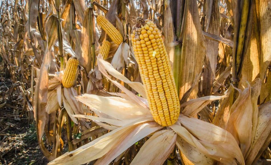 Ear of corn wide open, exposing the kernels.