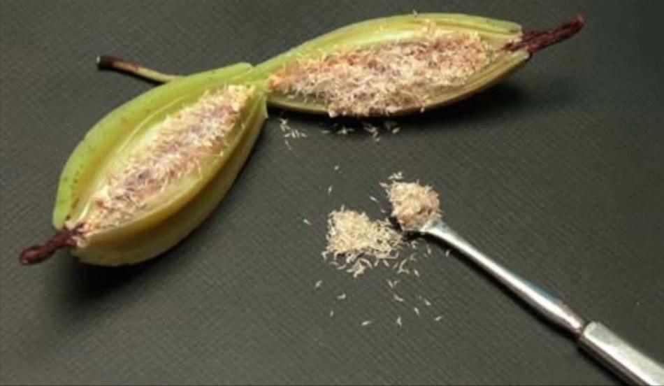 Orchid seed pod split open.