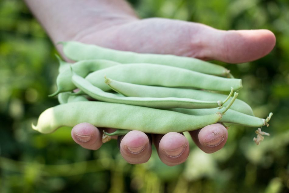 Flat podded green beans in a hand.