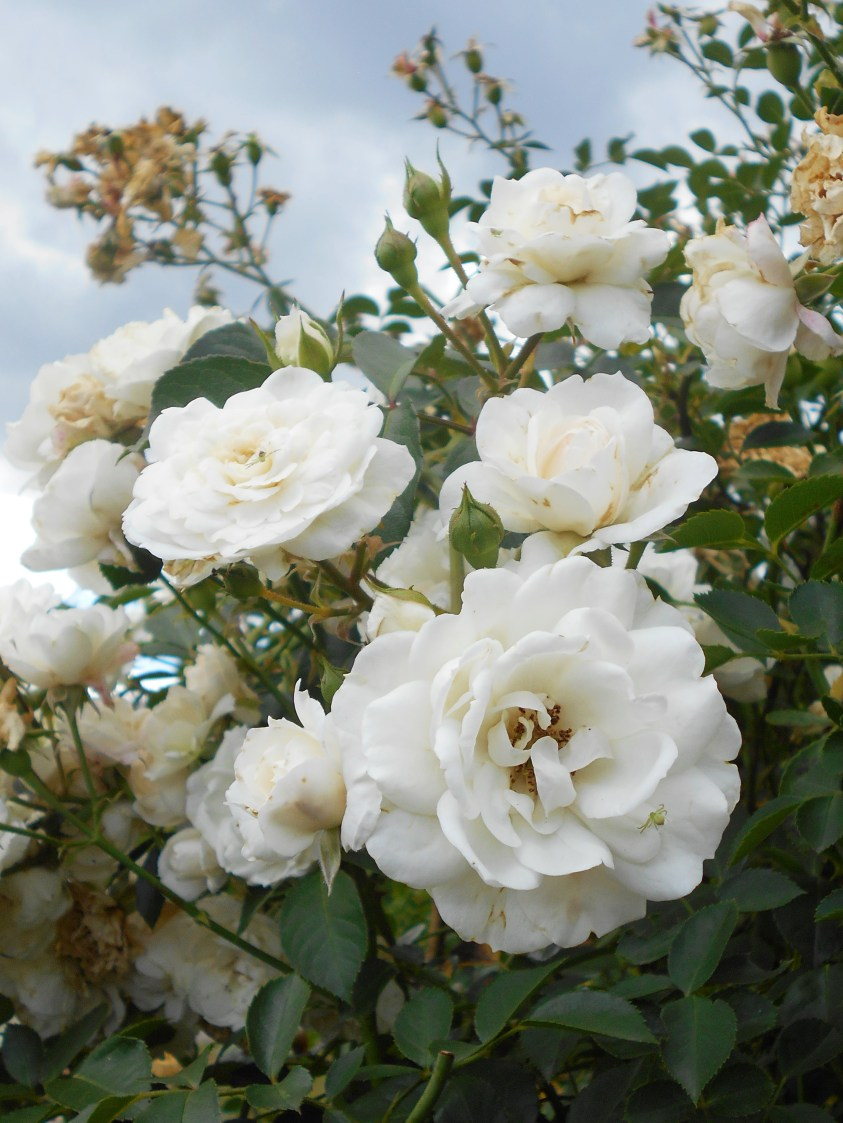 Climbing rose 'White New Dawn' with white flowers