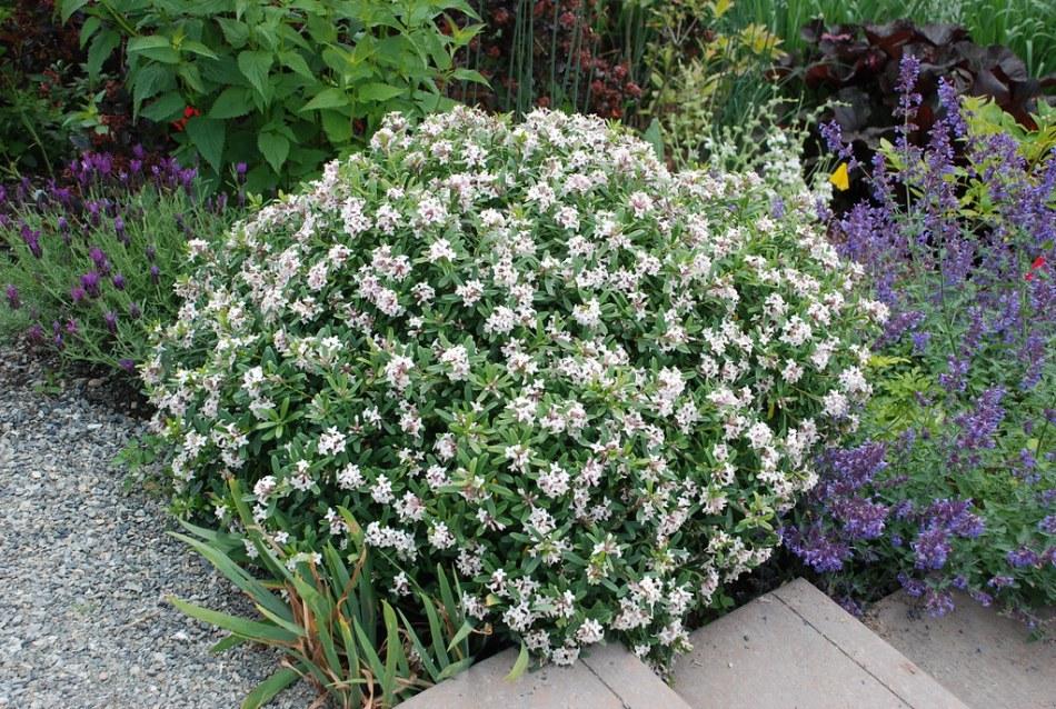 A Daphne × transatlantica shrub covered in white flowers.