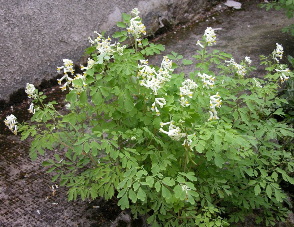 The finely cut leaves and the many flowers cive white corydalis extra elegance.
