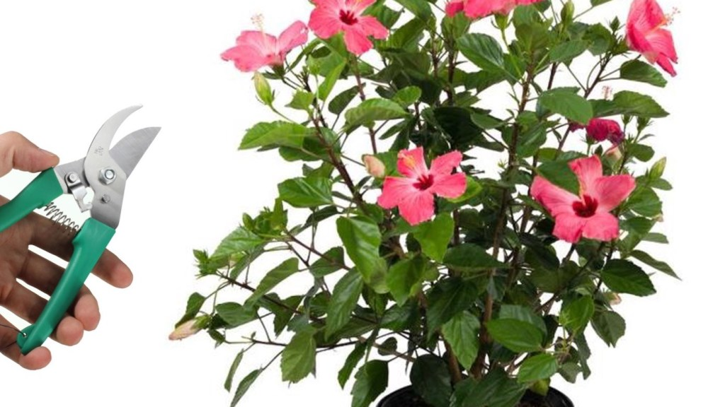 Hibiscus plant with pink flowers, Hand holding pruning shears.