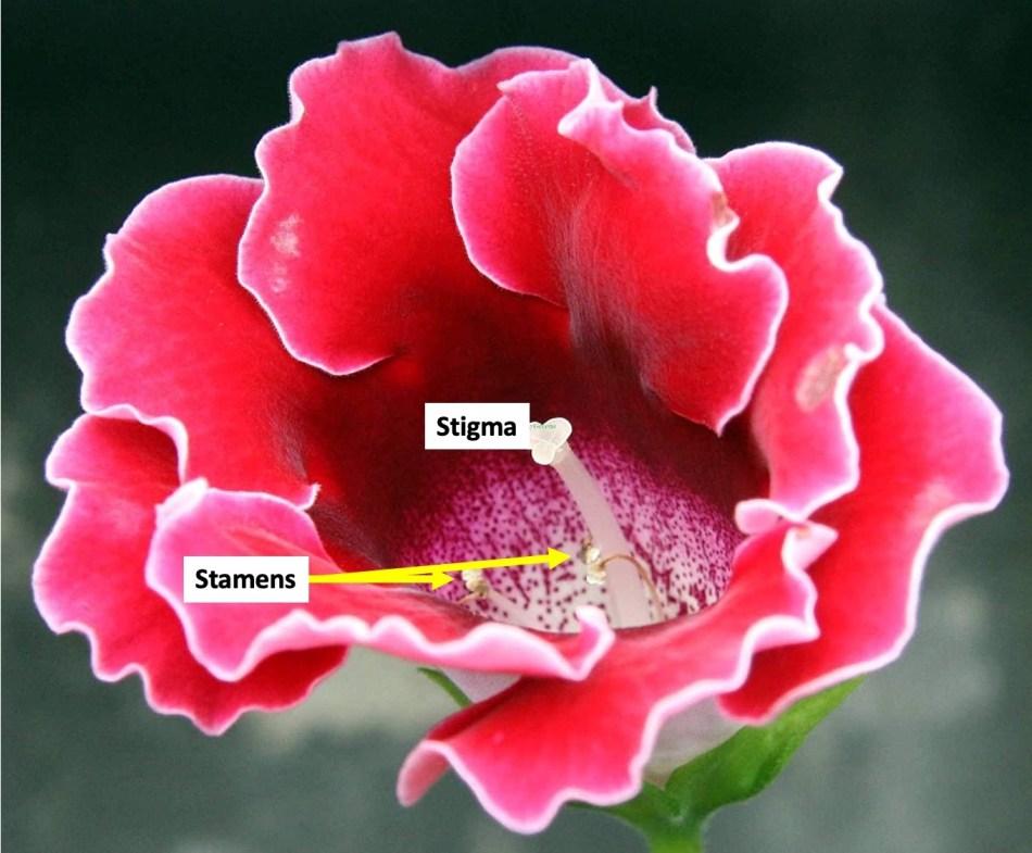 Florist's gloxinia flower showing stigma and stamens