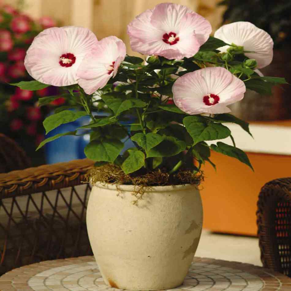 'Luna Pink' hardy hibiscus in a patio container.