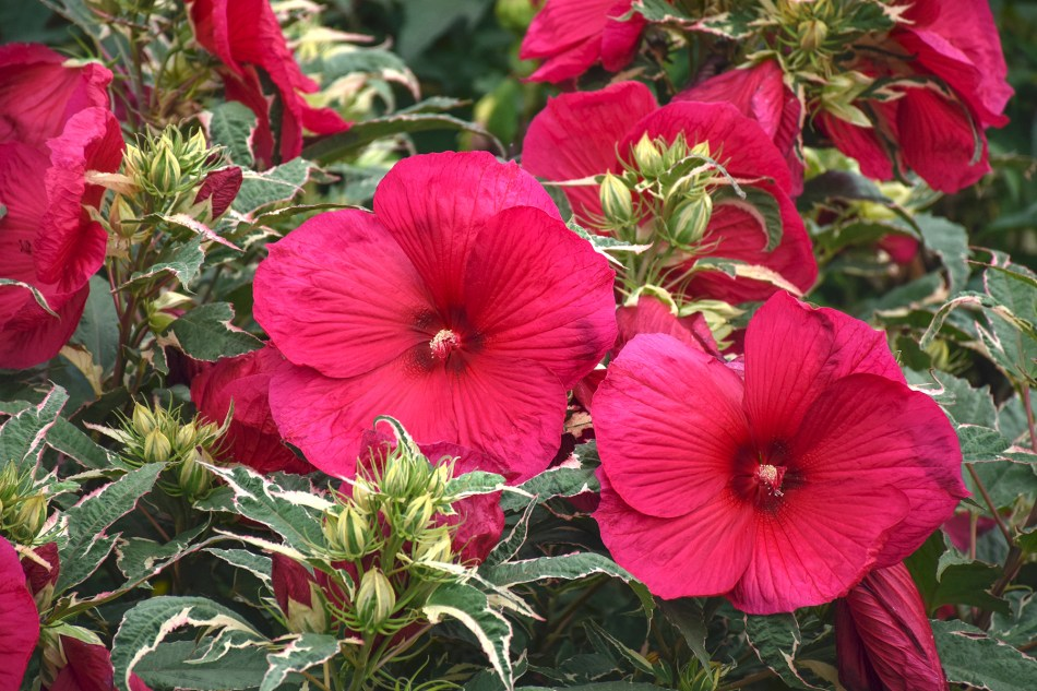 'Summer Carnival' hardy hibiscus, with red flowers and variegated foliage.