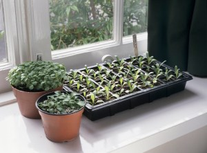 Seeds sown indoors in a tray and pots.
