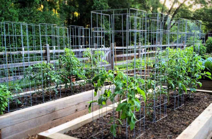 Tomatoes planted in large tomato cages