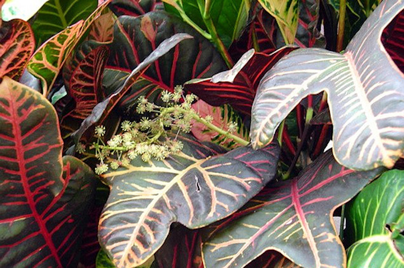 Croton with colourful leaves and a flower stalk of cream-coloured blossoms.