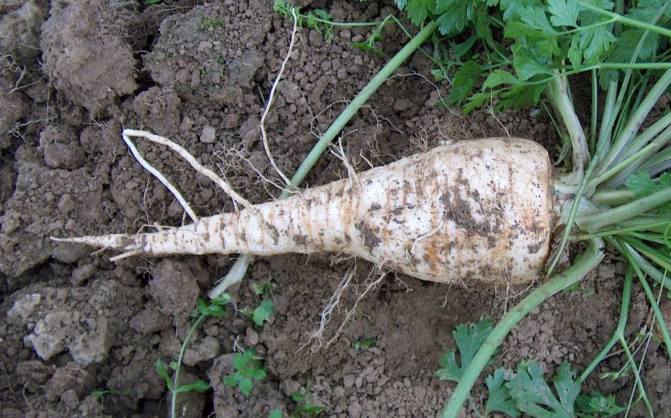 Plant of root parsley with white parrotlike root.