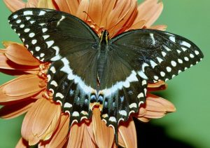 Adult black swallowtail butterfly.