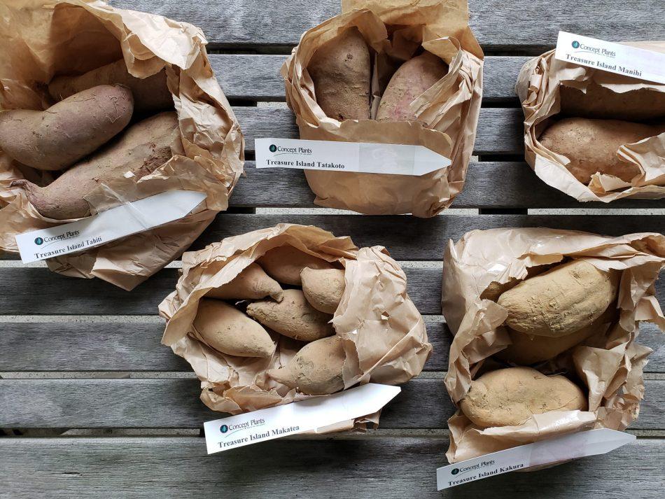 Tubers of different Treasure Island sweet potatoes