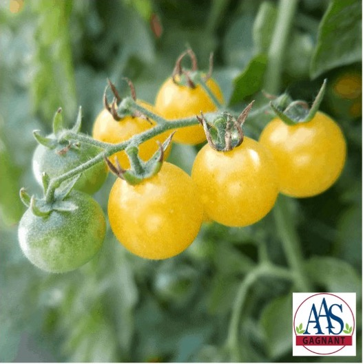 Fire Fly tomato with butter yellow round fruits.