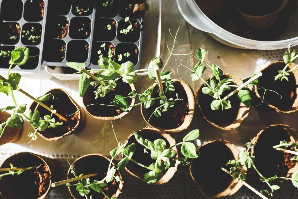 Pots of seedlings