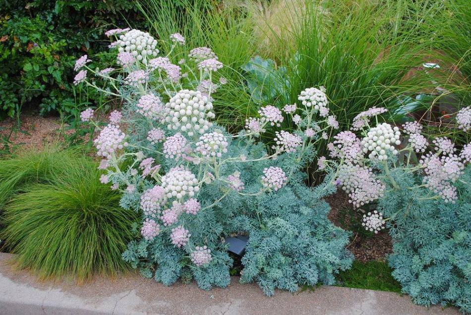 Moon carrot plants in a flower bed