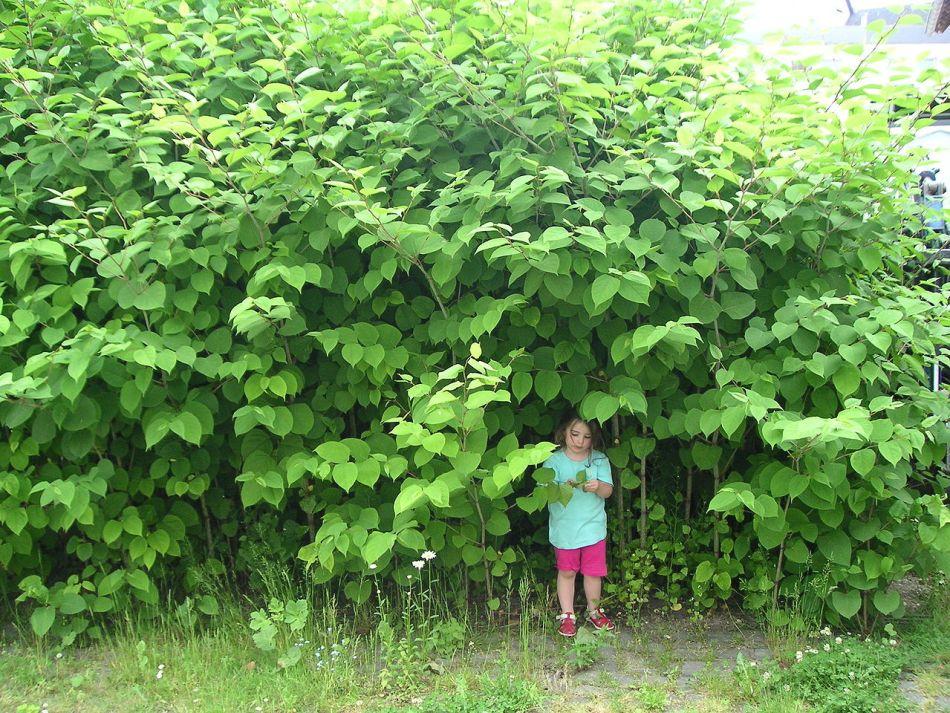 Girl standing under Japanese Knotweed