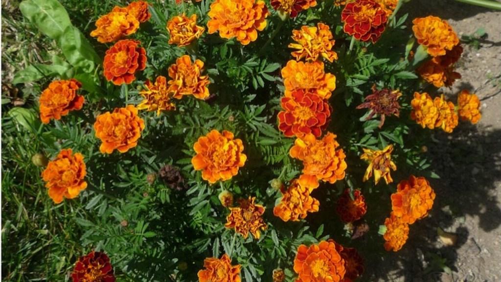 French marigold with orange flowers