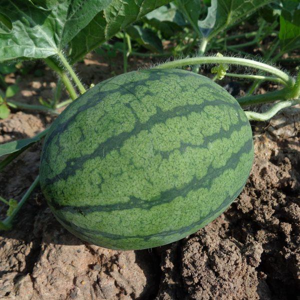 Watermelon on soil