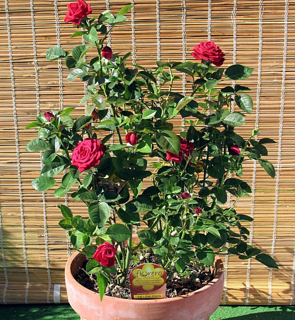 Rose bush in a pot.