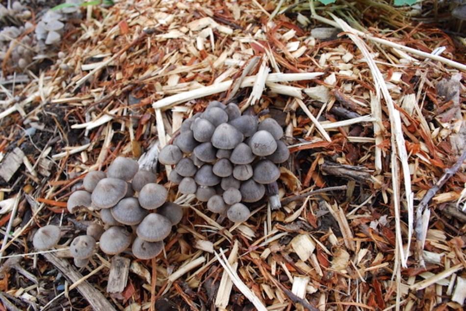 Mushrooms in RCW mulch