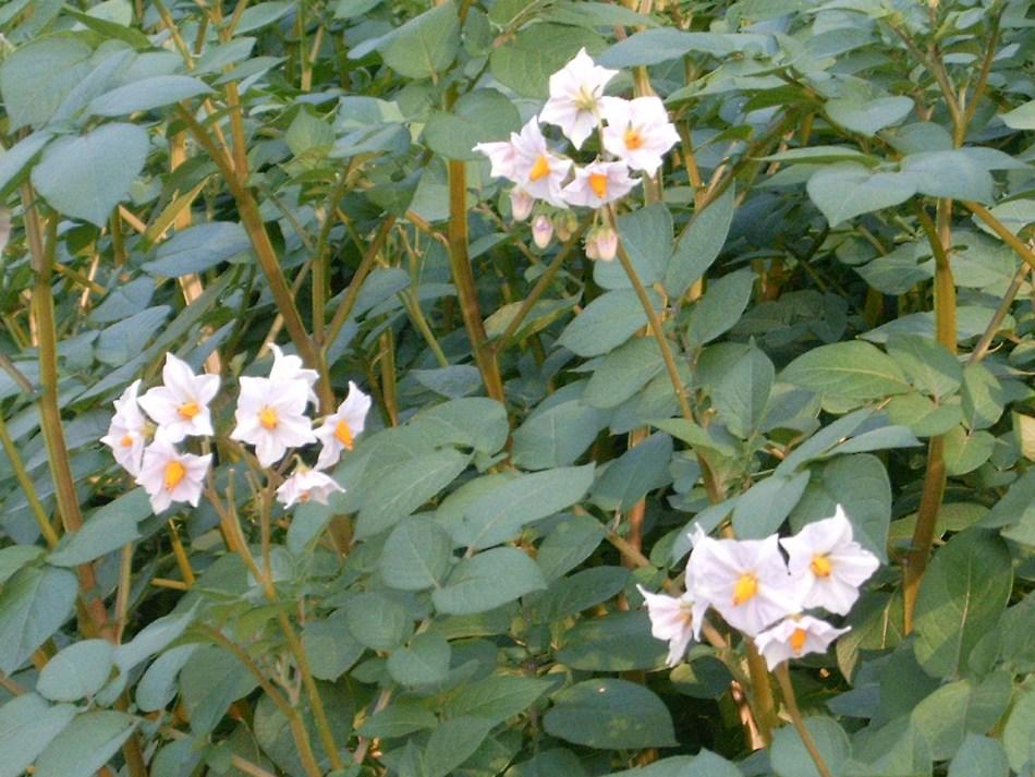 Potato plant in bloom