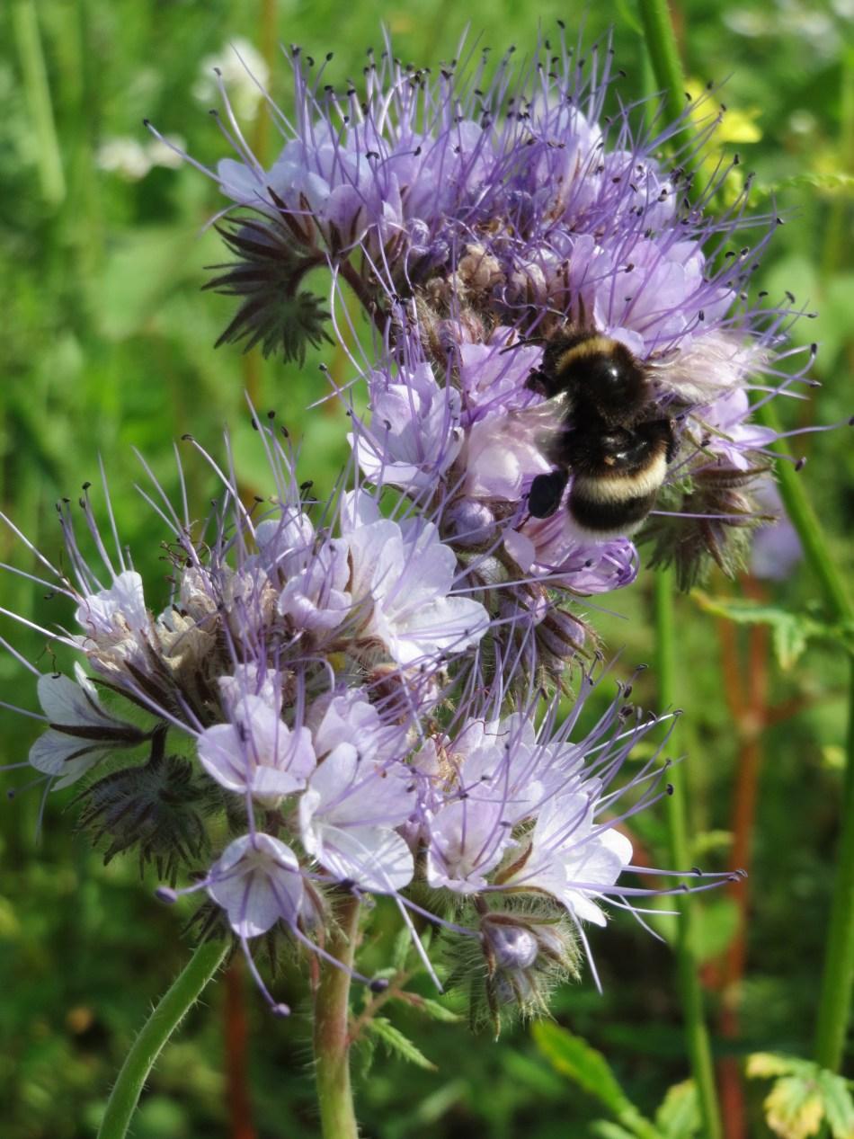 Bumblebee visiting lacy phacelia flowers.