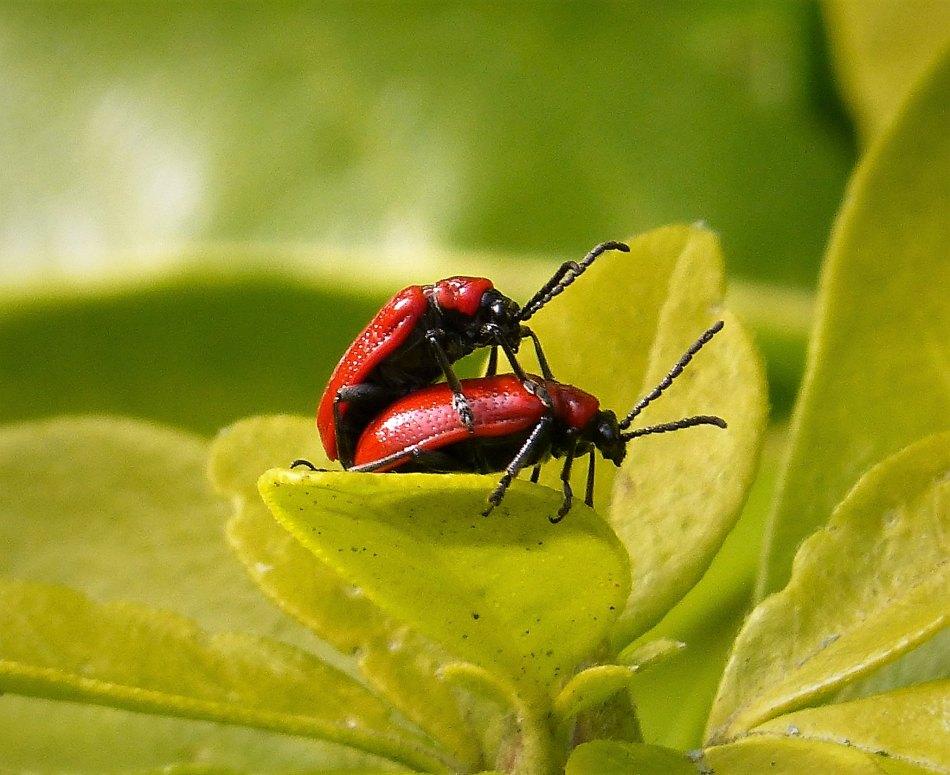 2 scarlet lily beetles on a leaf