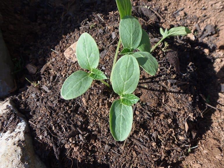 Cucumber seedlings on hill.