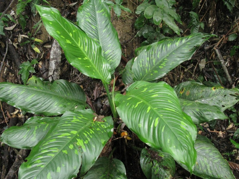 Dieffenbachia in jungle.