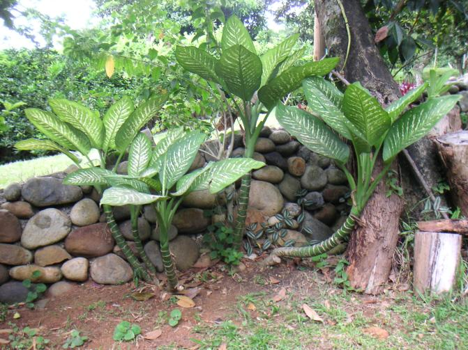 Dieffenbachia outdoors in tropics.