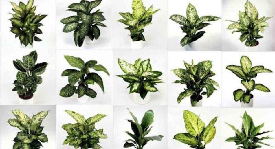 Multiple photos of varied dieffenbachias