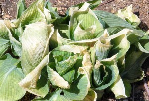 Hosta whose leaf tips have turned soft and yellow due to frost.