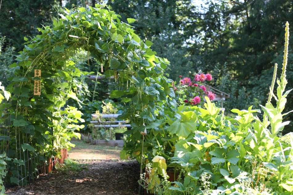 Squash and bean tunnel in garden.