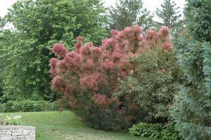 Tall purple smoketree with abundant hazy bloom.