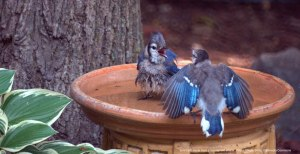 Two blue jays in a bird bath made of a plant saucer.