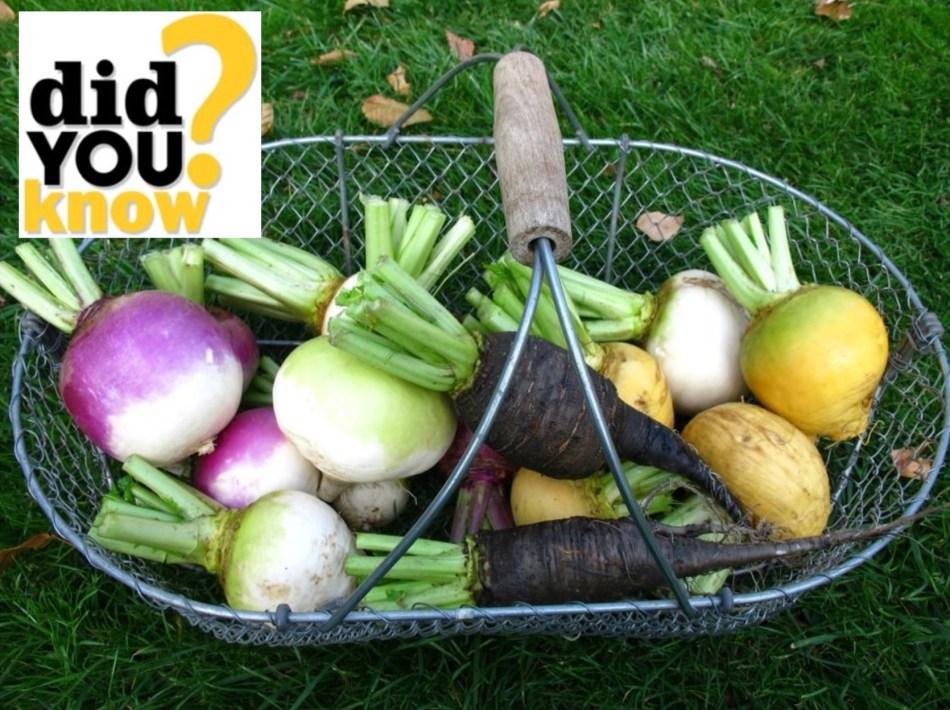 Purple, white, yellow, green and black turnips.
