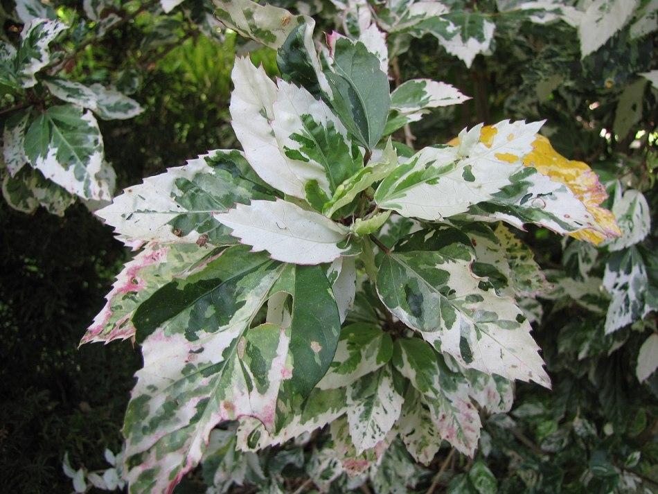Variegated hibiscus