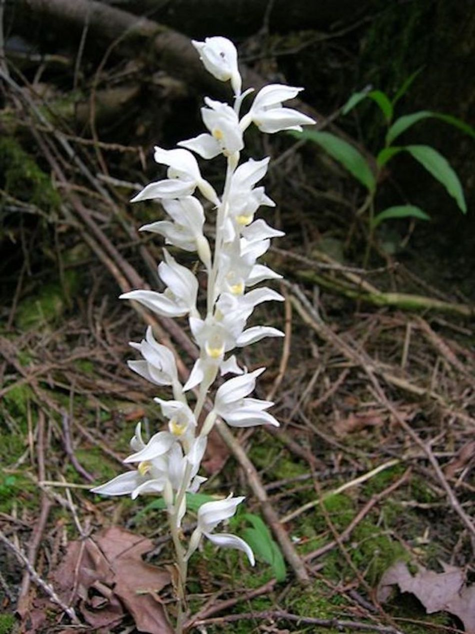 Phantom orchid (Cephalanthera austiniae) with a ghostly white stem and flower stem and flowers.