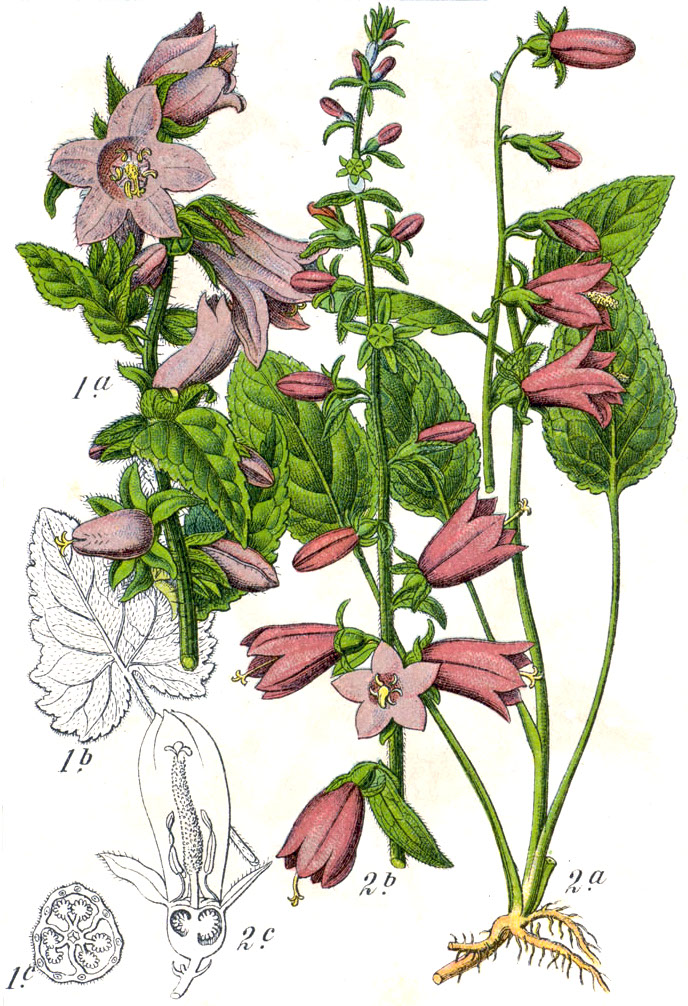 Botanical illustration of Campanula rapunculoides