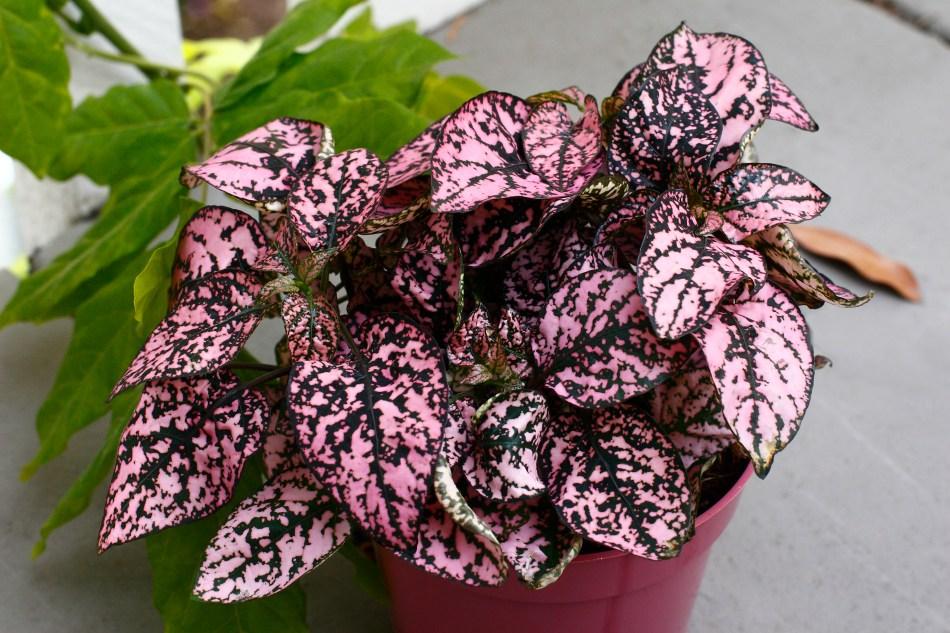 Purple and pink polka dot plant.