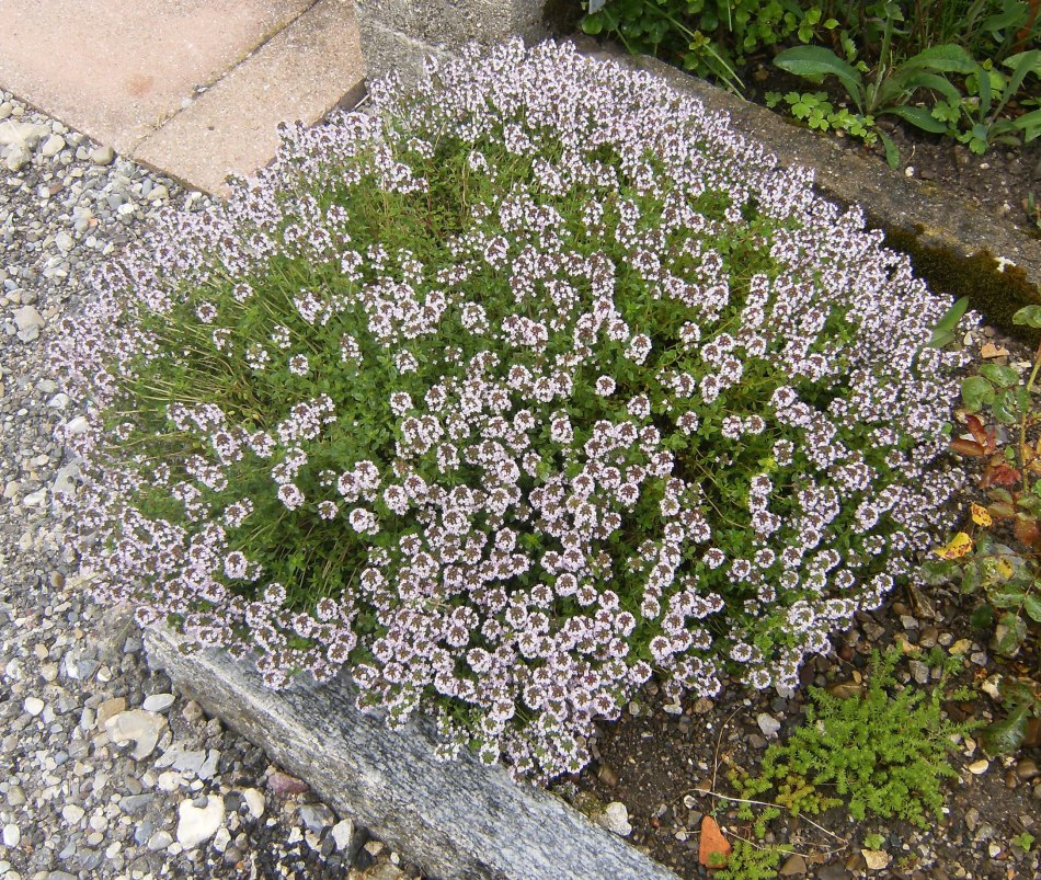 Common thyme in a raised bed.