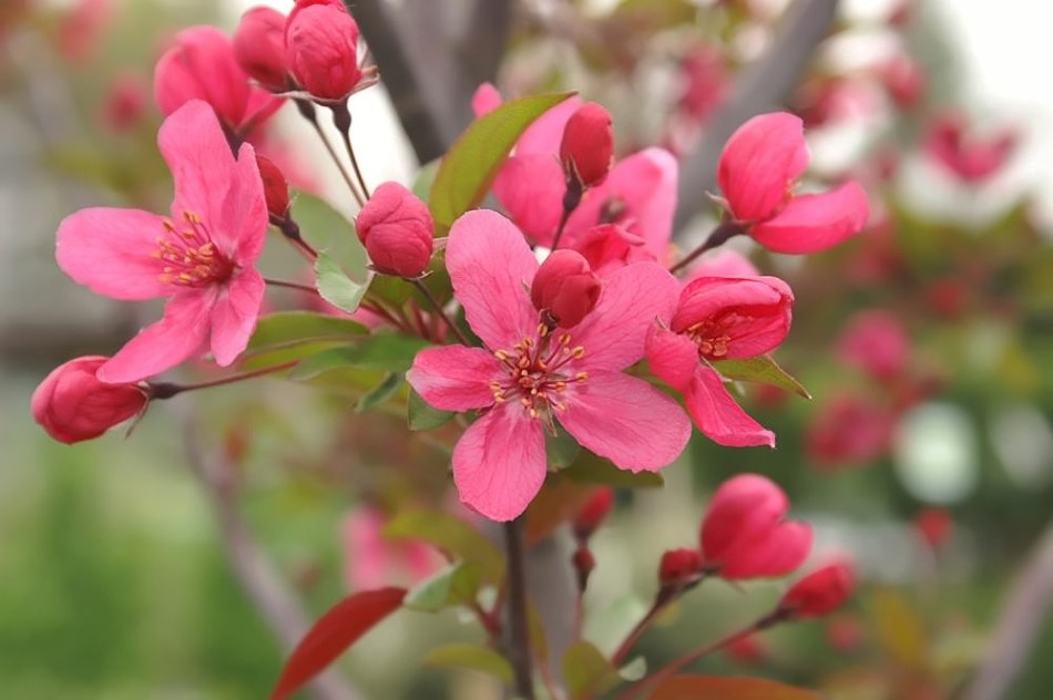 'Prairifire' crabapple in bloom.