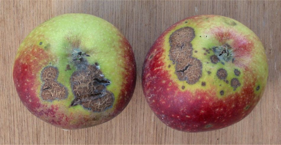 Two apples with scab.