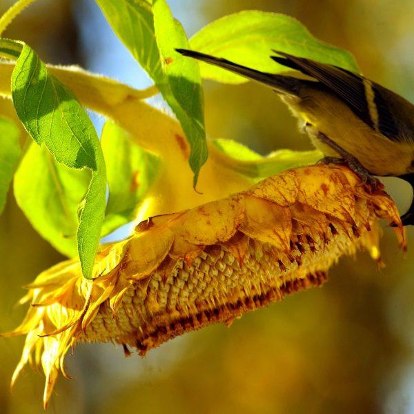 Bird eating sunflower seeds from the flower head.