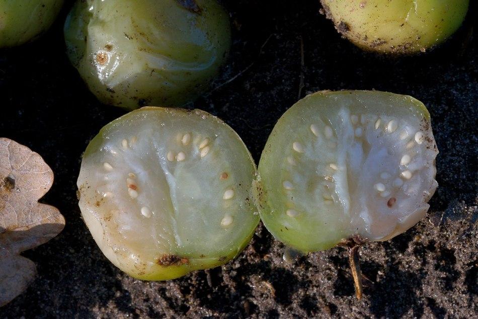 Potato fruit cut open, showing seeds
